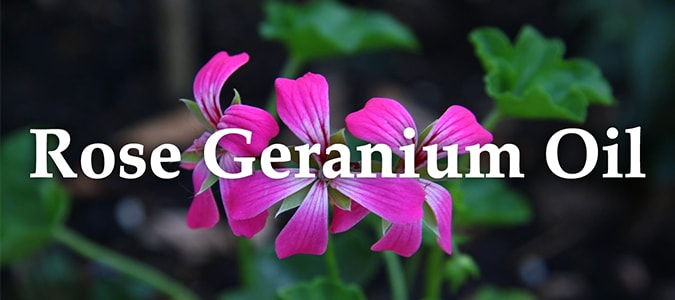 Essential Oil Headers Rose Geranium Oil